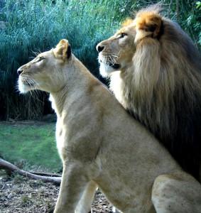 Løvinde og Løve